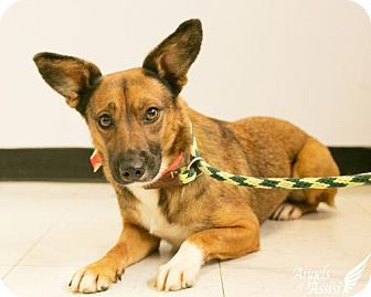 Roanoke Va Corgi Mix Meet Foxy A Dog For Adoption Kitten