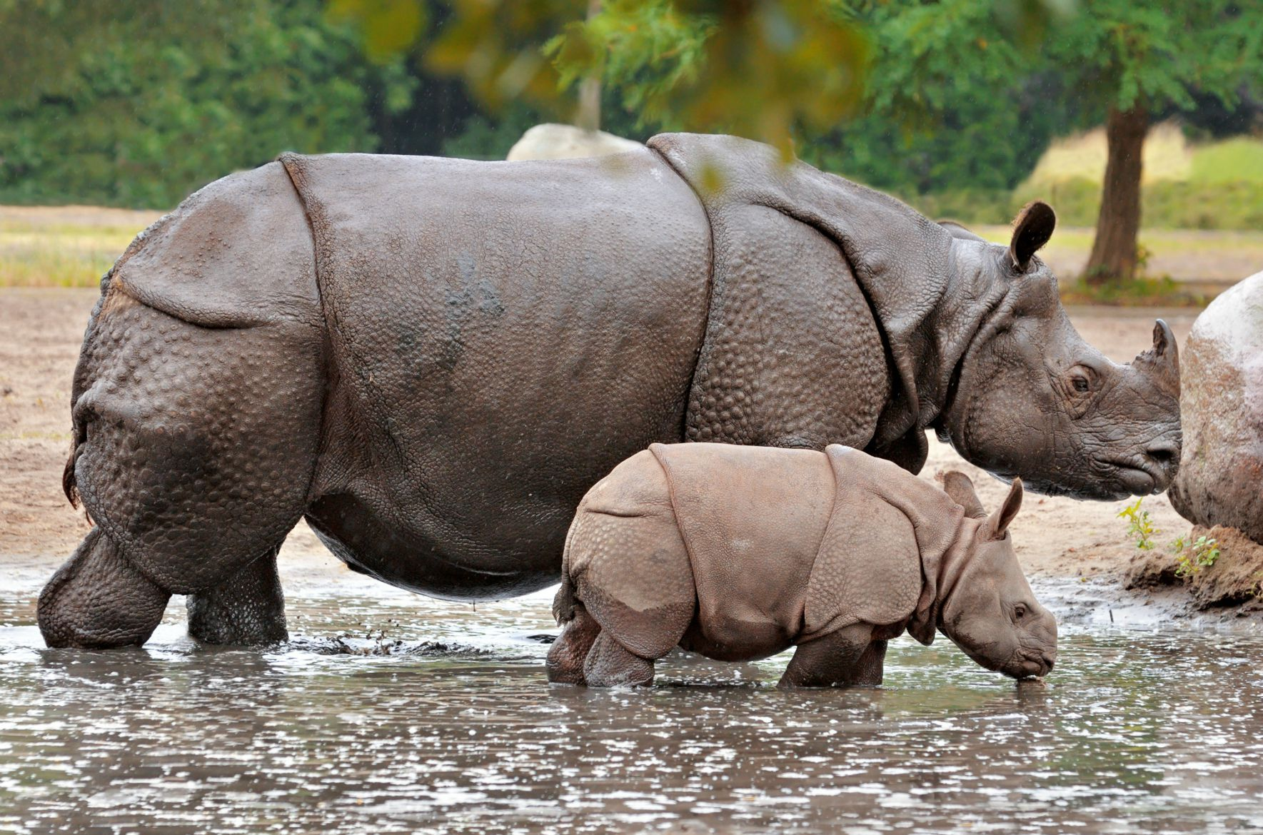 Greater OneHorned Rhinos are now the most numerous of the