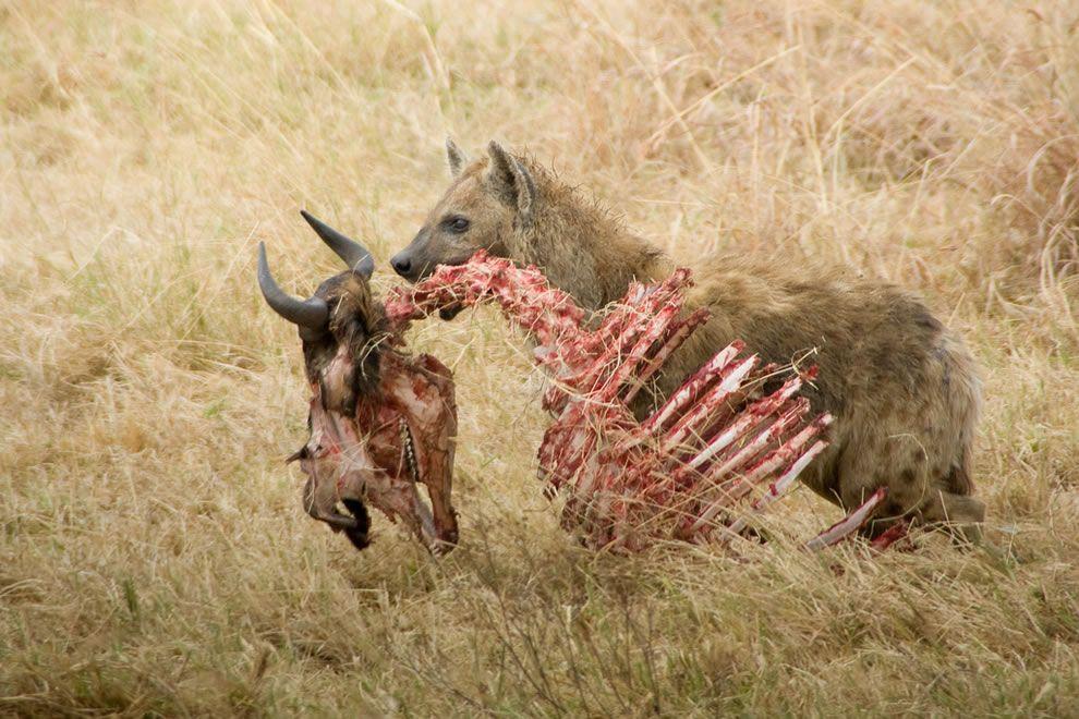 Hyenas scavengers | wildlife in nature | Pinterest | Hyena, Wildlife ...
