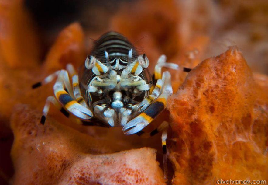 Bumble Bee Shrimp Gnathophyllum Americanum Hard Coral Saltwater Fish Tanks Seahorse Aquarium