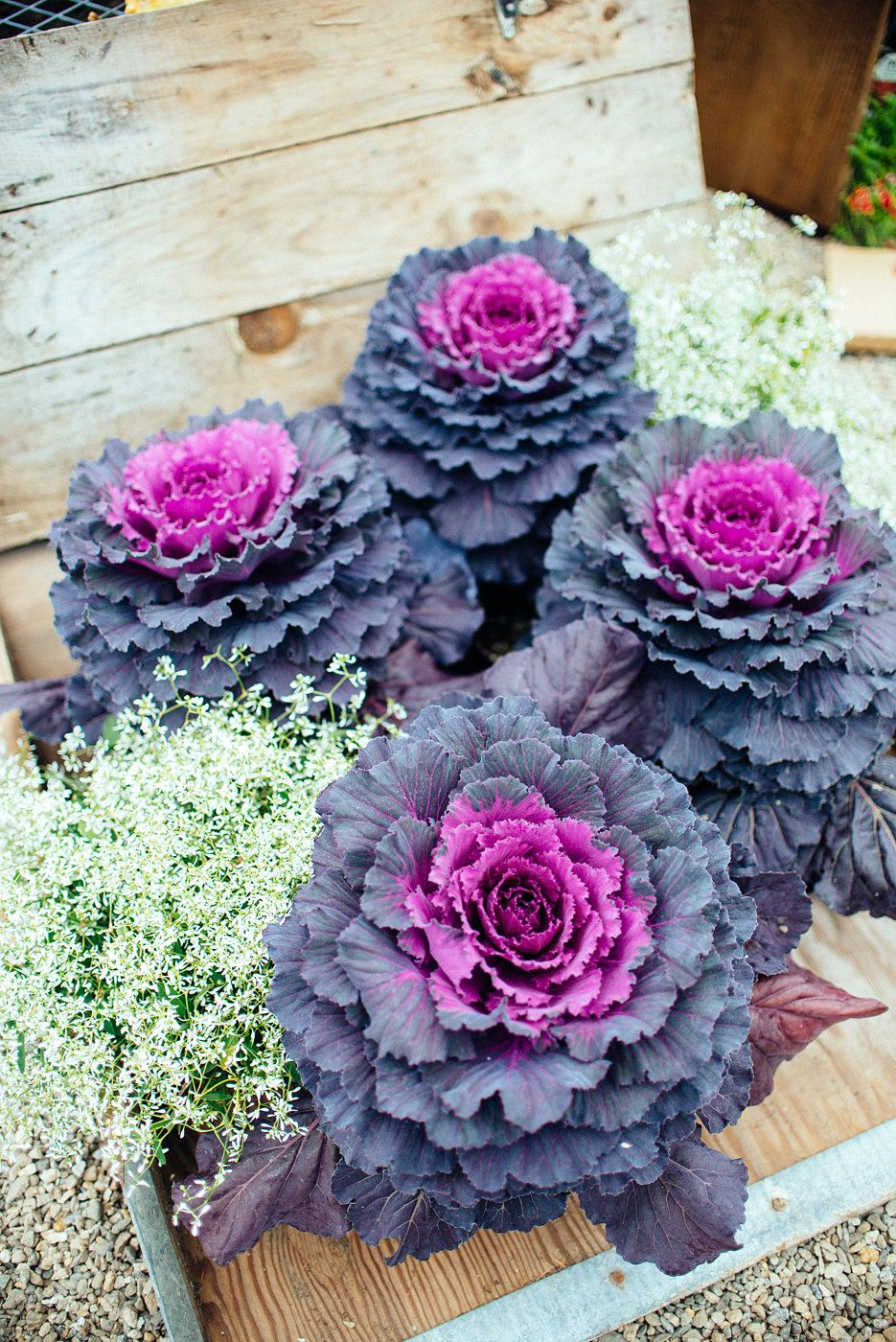 Fall Ornamental Cabbage At Wren Robinson Greenhouses 400 x 300