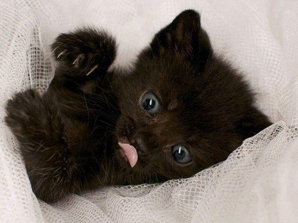 fond d 39 cran d 39 un chaton noir couch dans des rideaux chatons noir pinterest chatons noirs. Black Bedroom Furniture Sets. Home Design Ideas