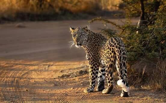 Leopard ....Pilansberg   North West Province RSA