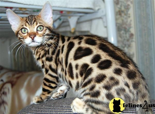 Funny Pictures Bengal Kittens Snow Bengal Kittens Bengal Kitten Bengal Cat Breeders Bengal Kittens For Sale
