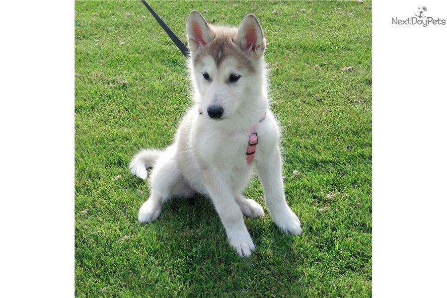Alaskan Malamute Puppy For Sale Near Rochester New York
