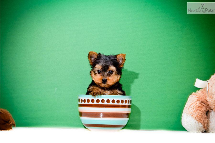 Yorkshire Terrier Yorkie Puppy For Sale Teacup Izzie Www Affordablepup Com 914d80a8 7381 Yorkshire Terrier Dog Yorkie Terrier Yorkshire Terrier