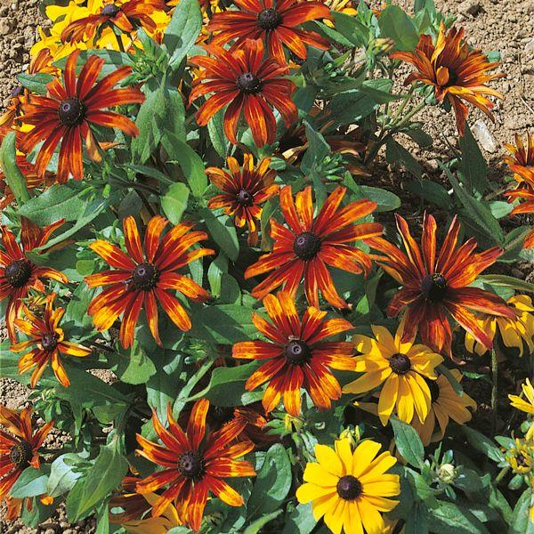 Rudbeckia Kelvedon Star 150 Seeds Kings Seeds