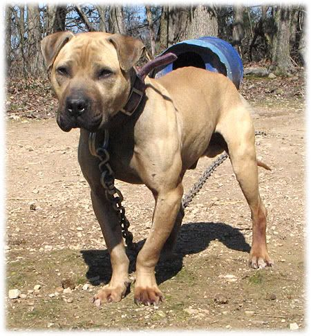 Beauty Pitbull Terrier Dog Games Dogs