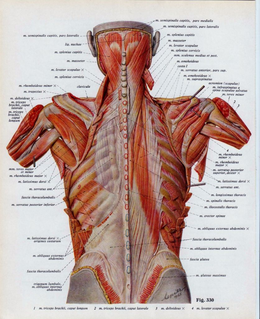 22+ Muscles near rib cage ideas in 2021