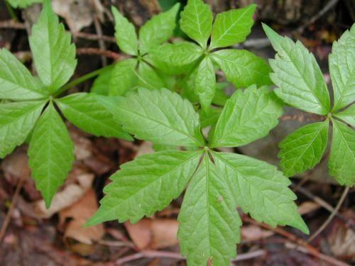 Gallery For Poison Oak Pictures 5 Leaves Poison Ivy Plants Poison Oak Plants