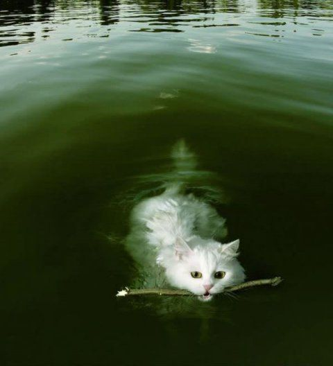 Who Says Cats Can`t Swim?