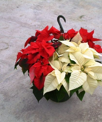 Poinsettia Flower Meaning In 2020 Poinsettia Flower Flower Meanings Poinsettia
