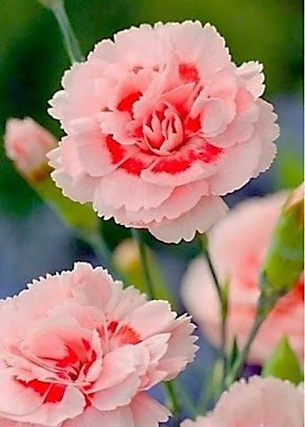 Claveles Carnation Carnation Flower Beautiful Flowers Flowers