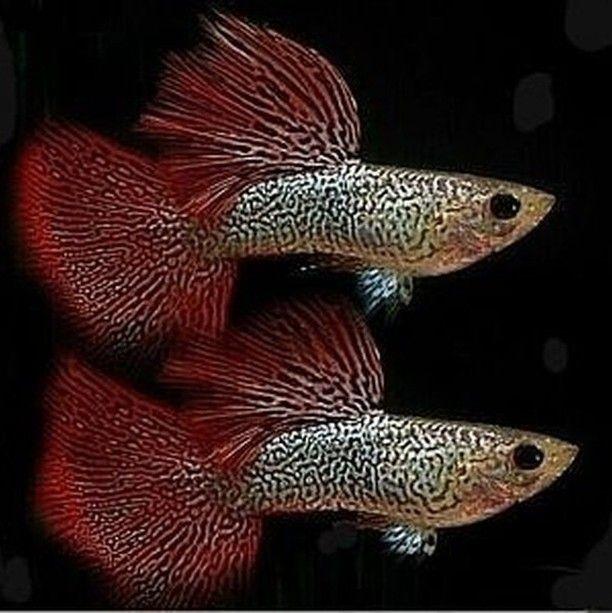 Sale Guppy Fish On Instagram Wow Very High Quality Any Body Have It Bettafishtank Guppies An Tropical Fish Aquarium Guppy Best Aquarium Fish
