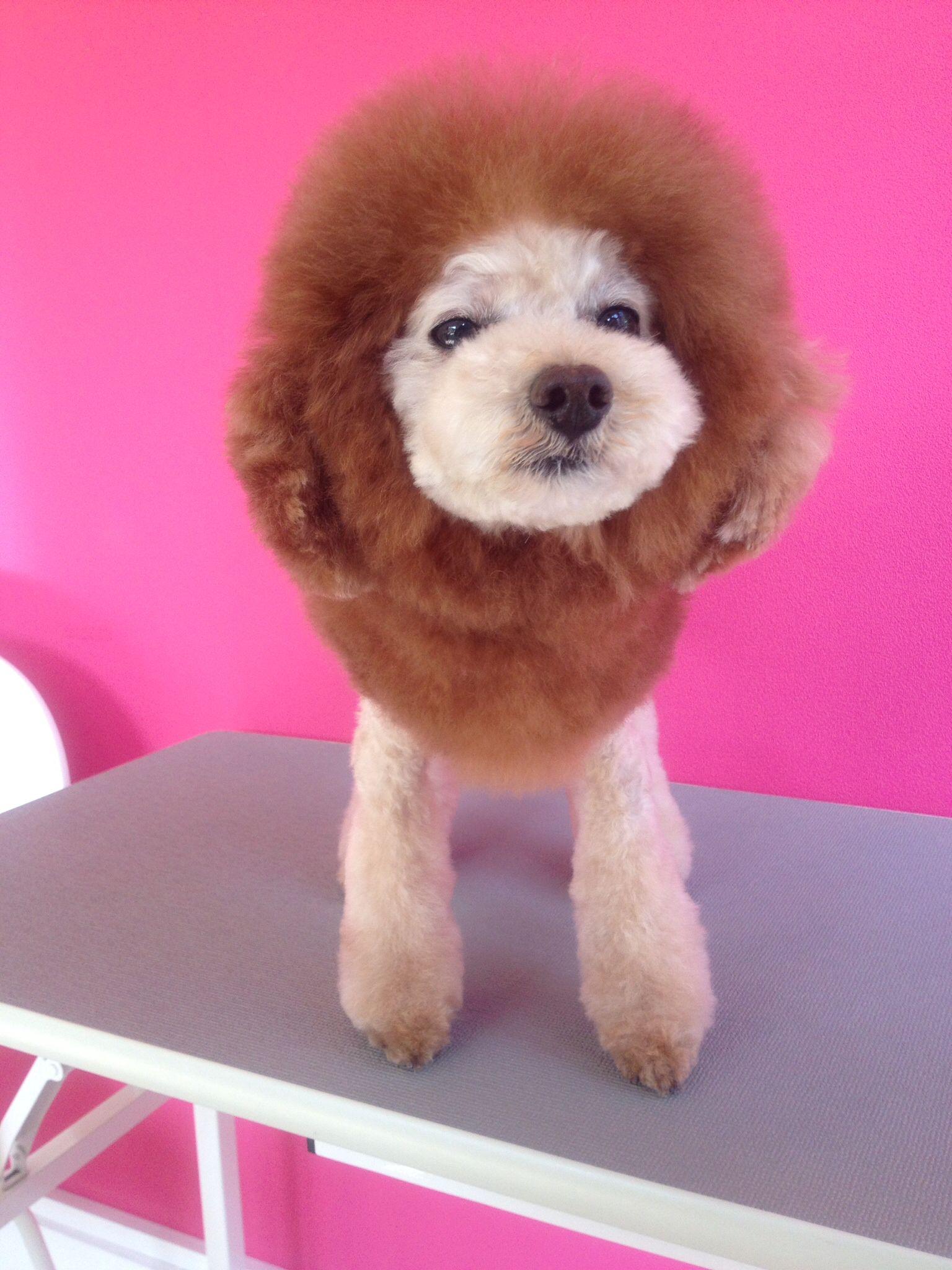 Lion Cut Poodles Pinterest Poodle Lion And Halloween