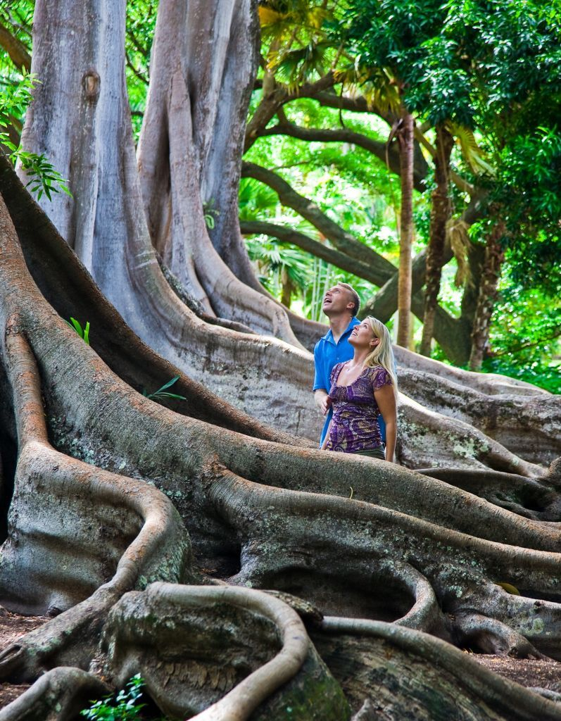 Jurassic park location the moreton bay fig trees in - National tropical botanical garden kauai ...