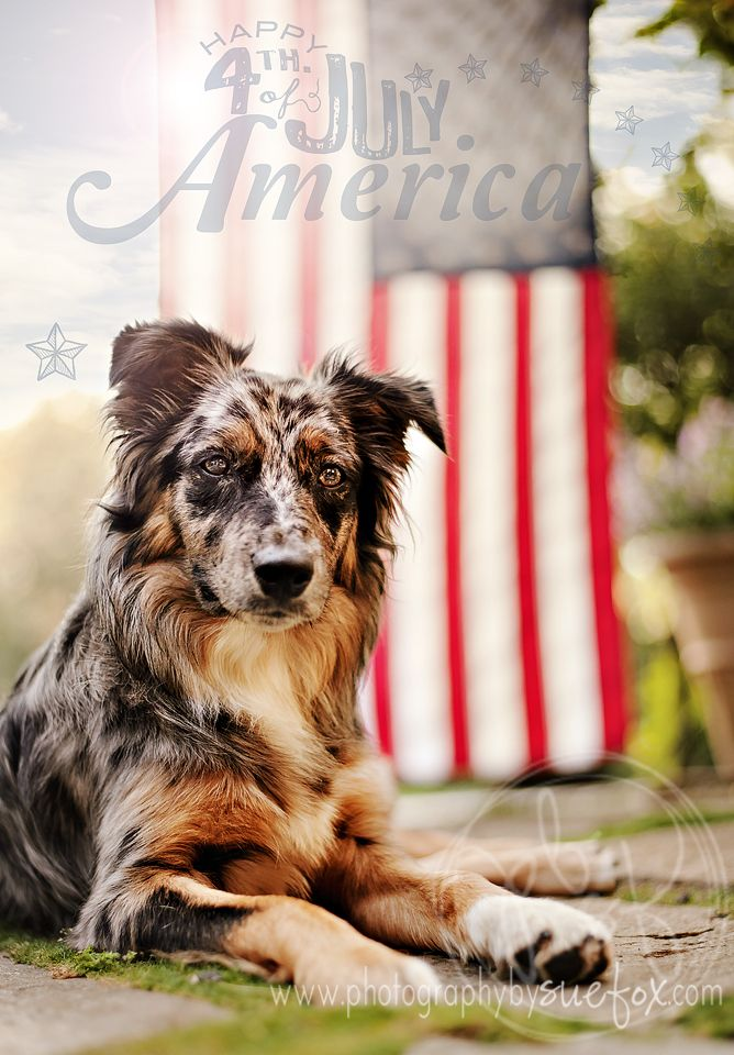 Fourth of July 2013 Australian Shepard www.photographybysuefox.com