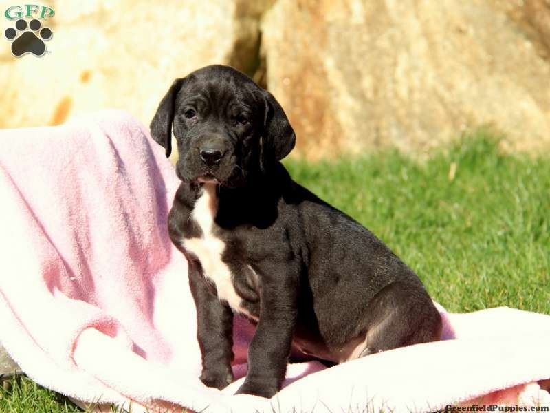 Duchess Great Dane Puppy For Sale In Paradise Pa Greenfield