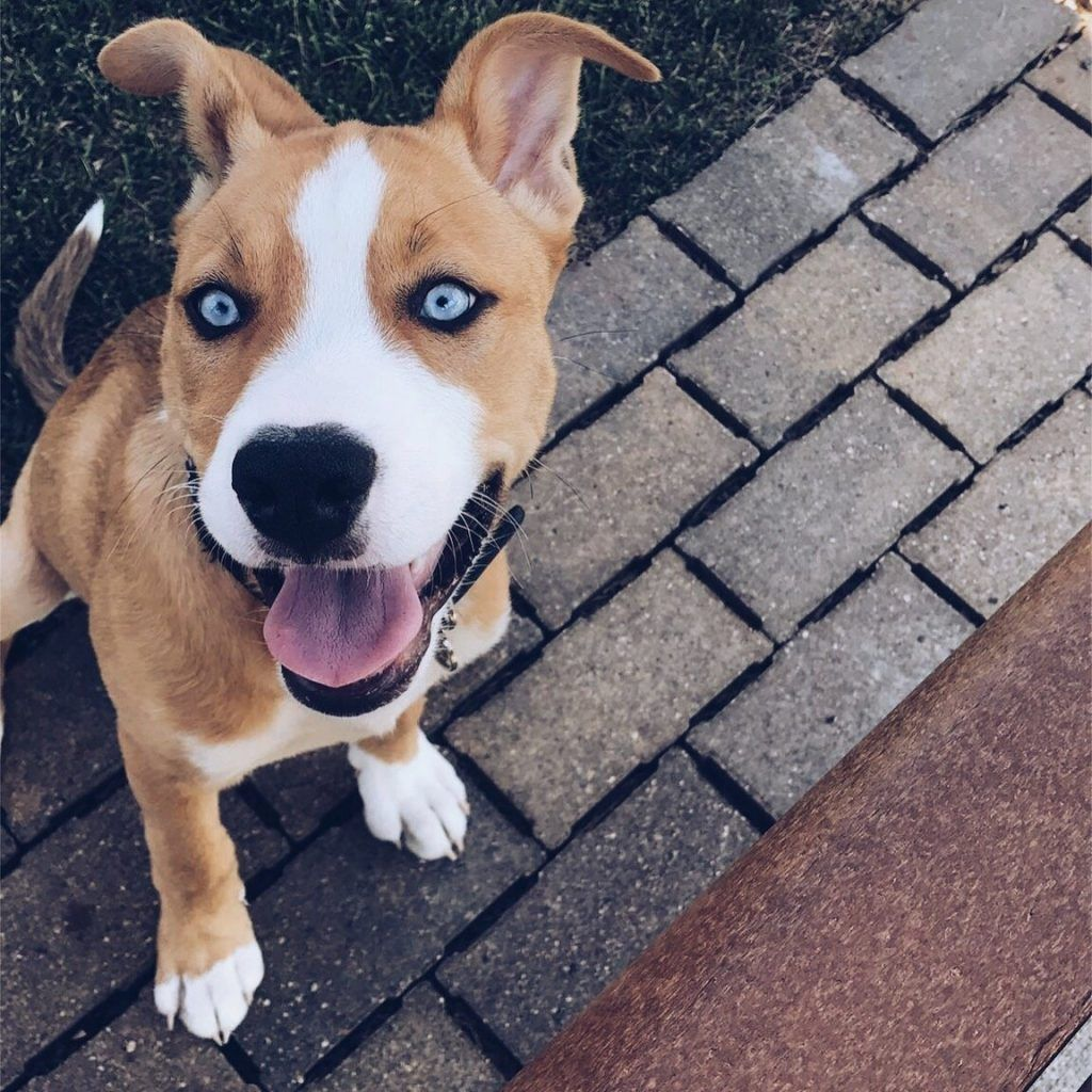 Pitbull X Husky Welpen Pitbull Terrier Husky Pitbull Mix