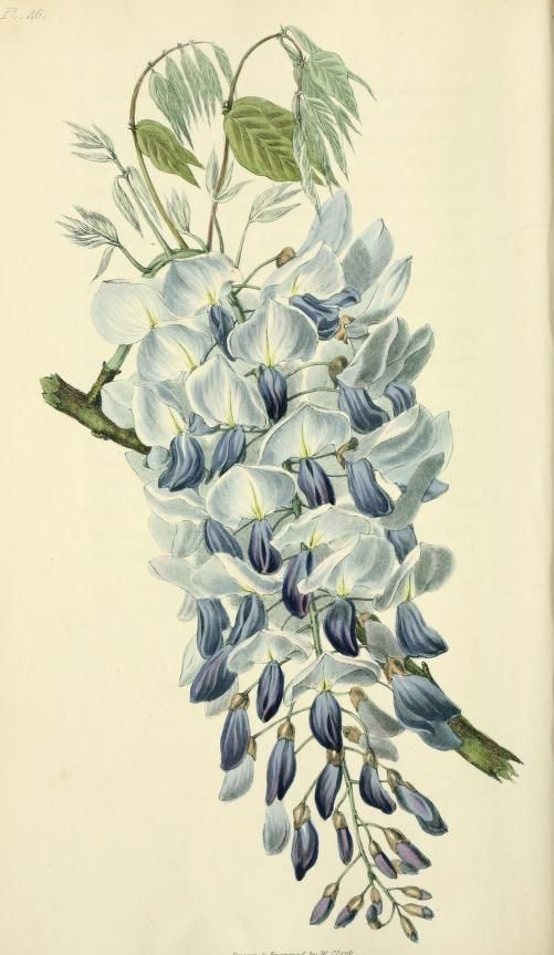 Glycine sinensis (=Weisteria sinensis) Flora conspicua : - Biodiversity Heritage Library