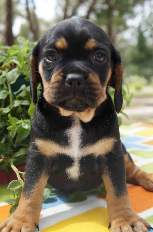 how to train a puggle puppy