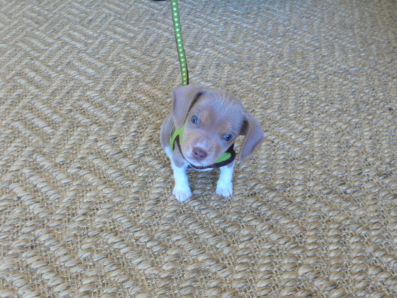 Beagle Lab Mix Puppies Craigslist   Beagle Puppy