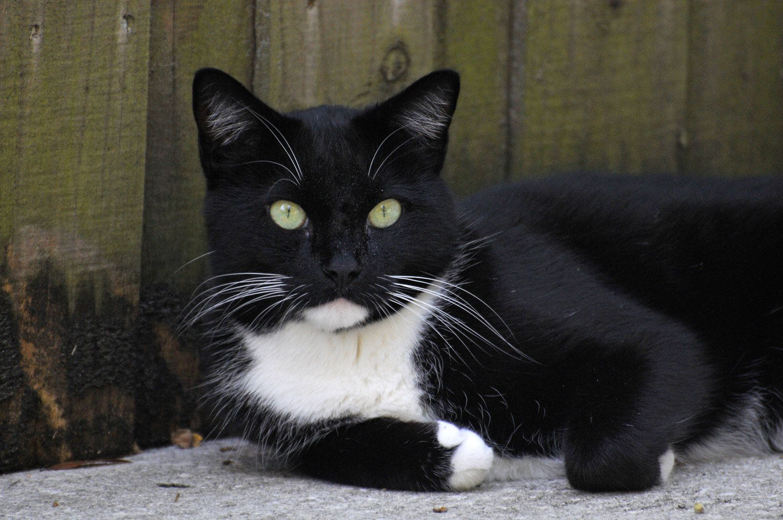 Most Of My Favorite Cats Have Been Female But My Childhood Cat Boots Had Such A Great Personality He Died Of Feline Leu White And Black Cat White Cats Cats