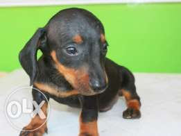Dachshund Puppies For Sale Dachshund Puppies For Sale Pets For