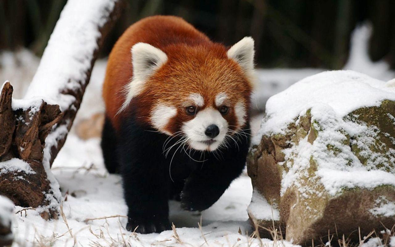 Panda In Snow Panda Bears Wallpaper Red Panda