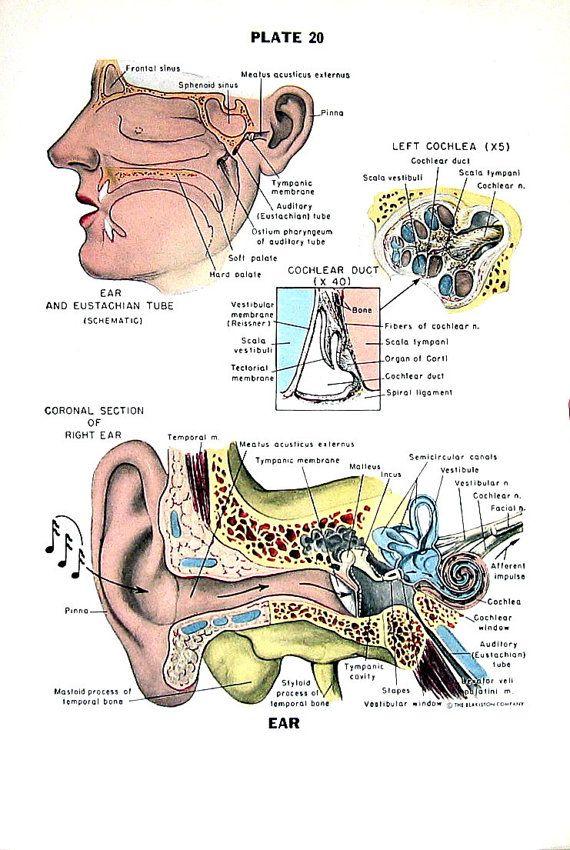 Awesome Eustachian Tube Anatomy Pictures Crest - Anatomy Ideas ...