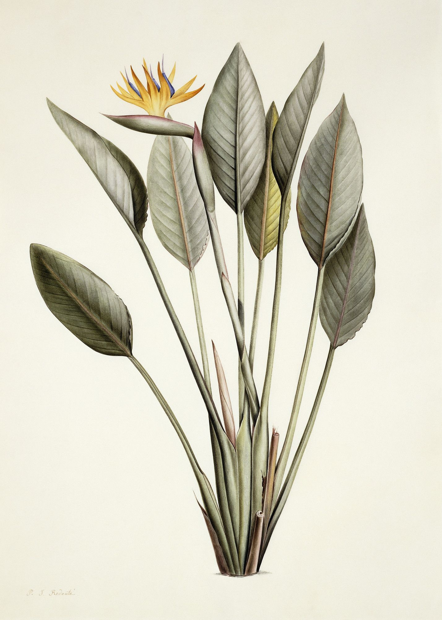 Bird of Paradise Birds of paradise plant, Plant