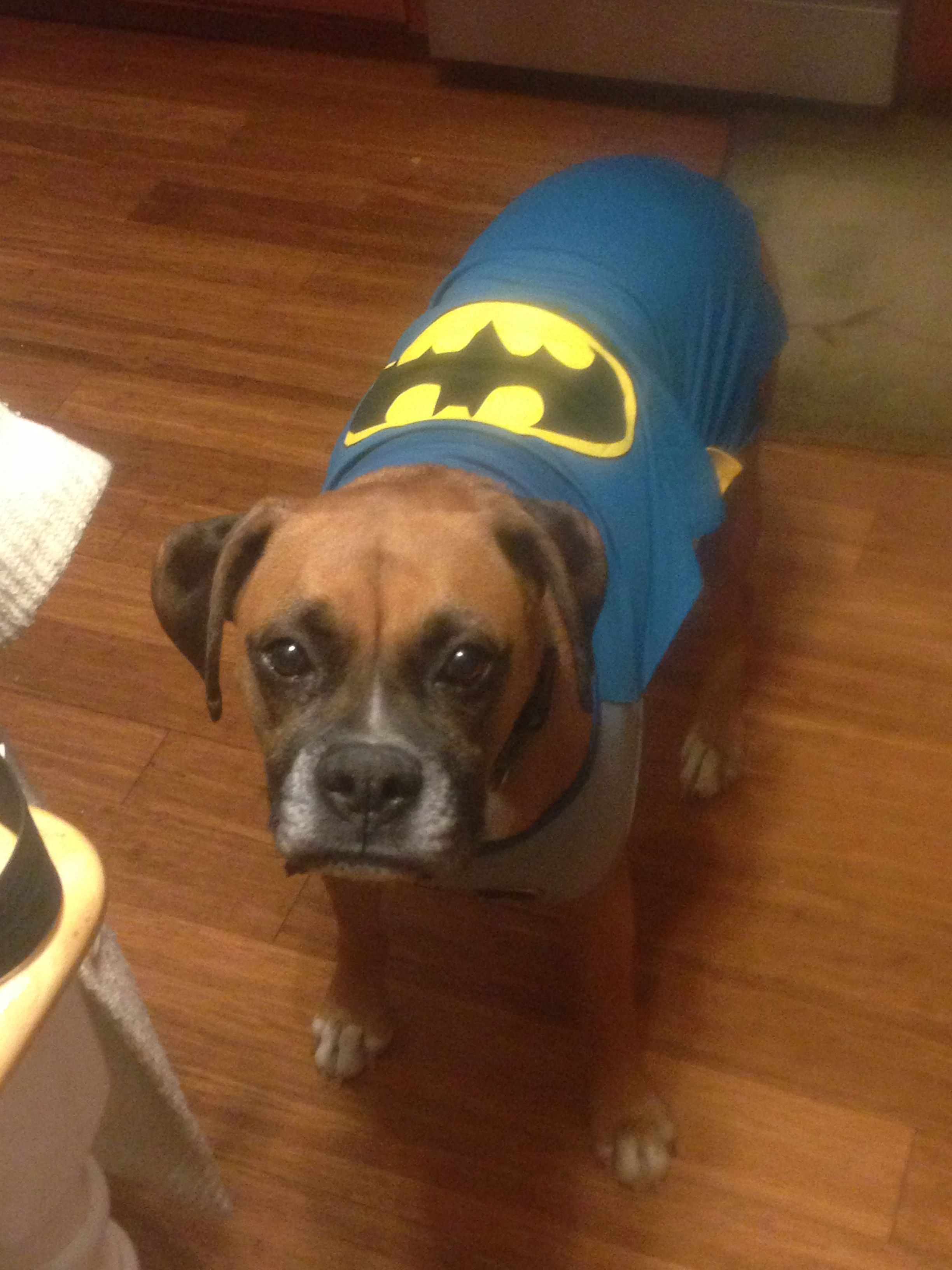 Bat-dog batman dog costume #sadiegillingham boxer | Boxer ...