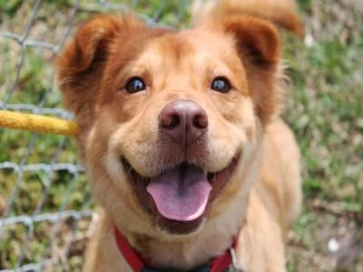 Buster Is A Welsh Corgi Chow Chow Mix He Is Three Years Old And