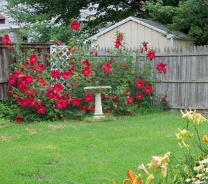 Lord Baltimore Hardy Hibiscus Plant Rose Mallow Gardening