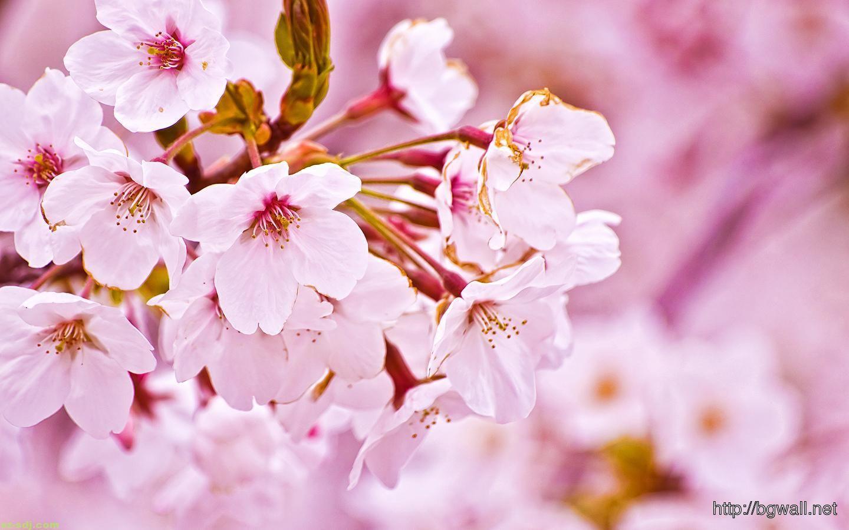 Beautiful White Cherry Blossom Flowers Wallpaper Background Cherry Blossom Flowers Cherry Blossom Wallpaper Cherry Blossom Festival