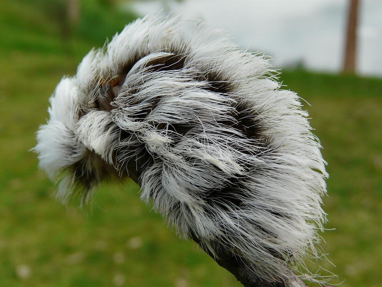 The larvae of Megalopygidae moths are called Puss Caterpillars, and with their long hairs, resemble cotton balls. They have venomous spines that can cause a painful sting and inflammation lasting for several days. In some cases, the sting may cause headache, nausea, and shock-like symptoms.