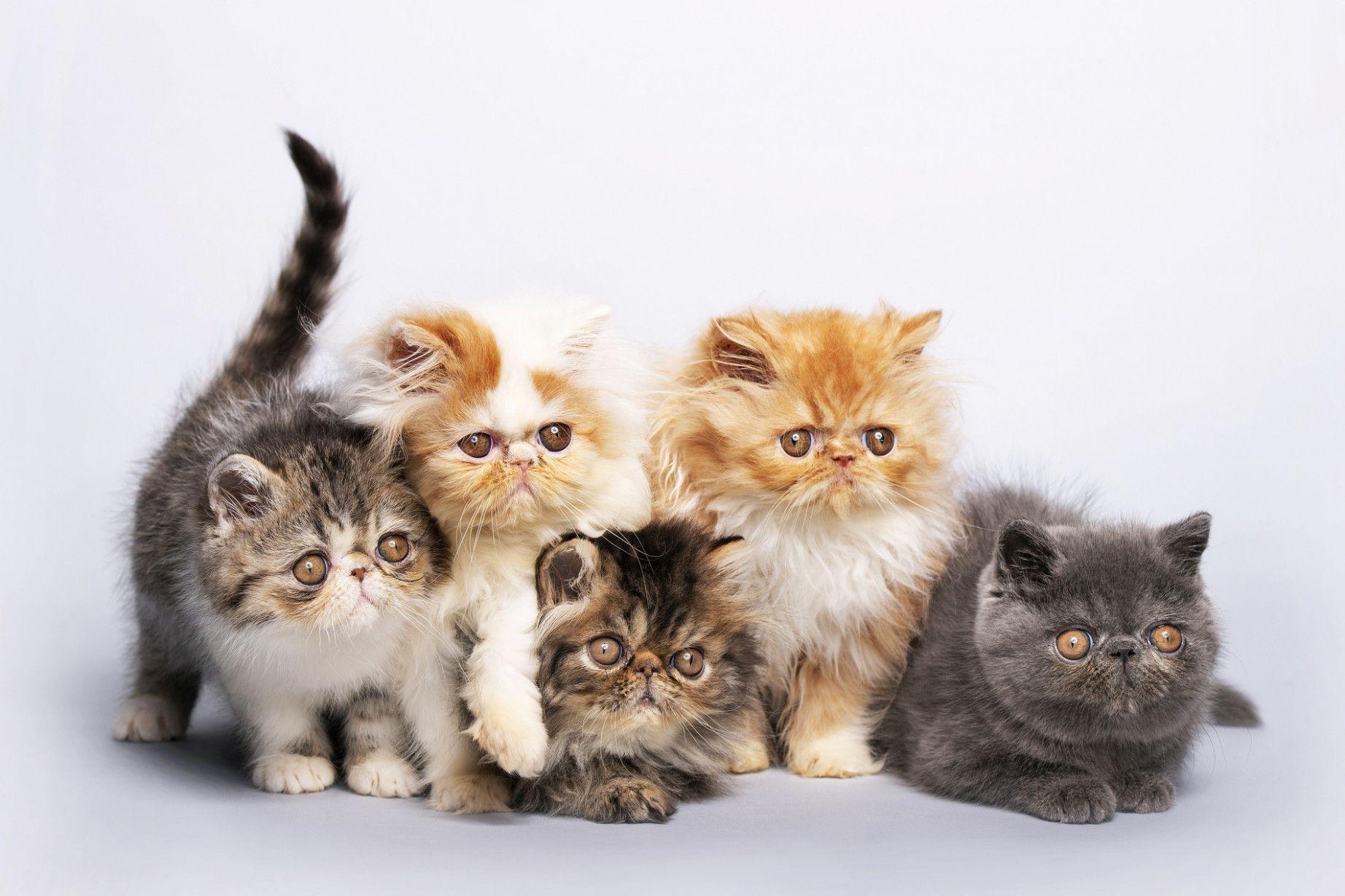 12 Persian Cat Craigslist Image in 2020 Persian cats for