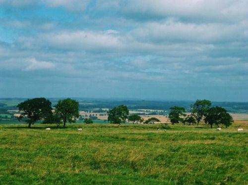 cladelcroix:Ligne d'arbre et moutons Hexham Angleterre...