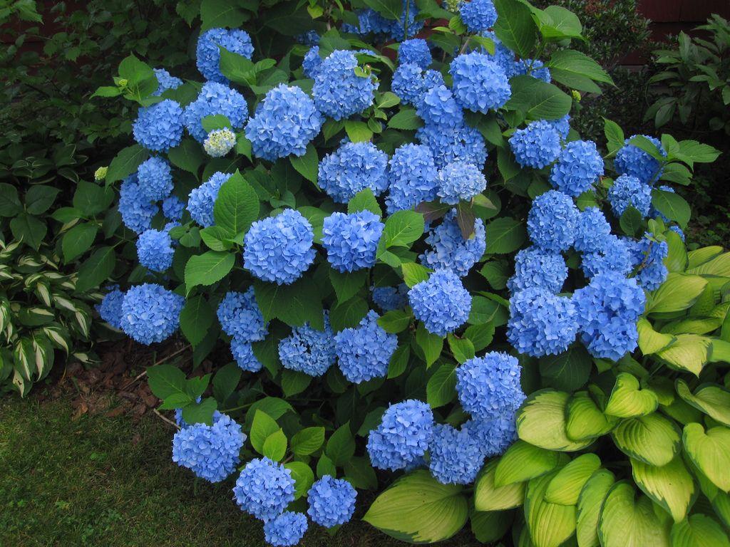 Endless Summer Hydrangea Shrubs Endless Summer Hydrangea Nikko Blue Hydrangea Container Gardening