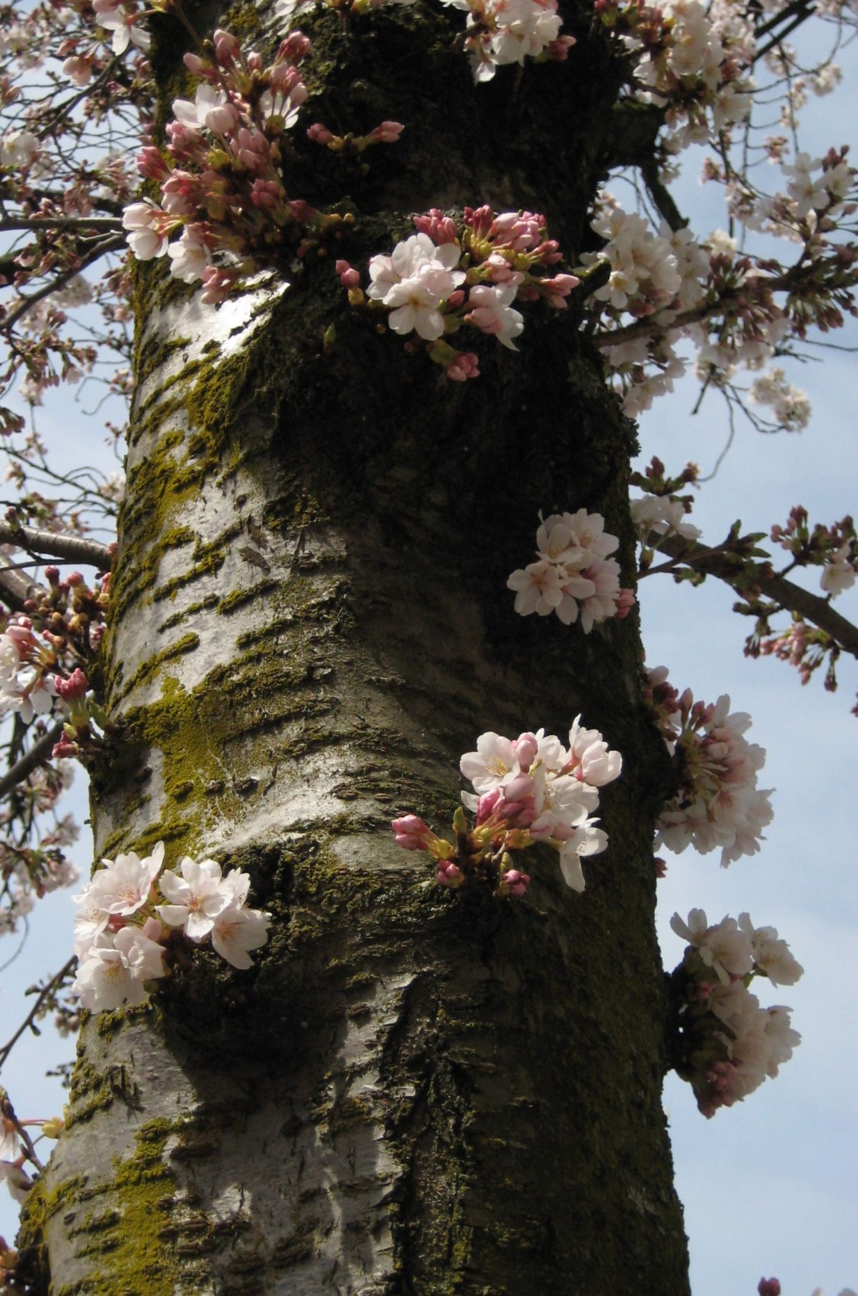 Cherry Blossoms Mean Spring Cherry Blossom Meaning Rare Flowers Tree Hugger