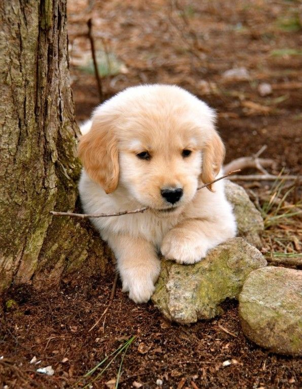 Dog Breeds For Toddlers Puppies Dogs Retriever Puppy Cute