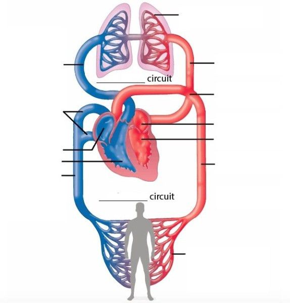 Circulatory System Diagram With Labels Awesome Heart