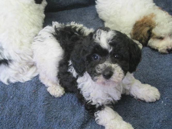 Bichon Frise Poodle Mix Bi Poo Puppies Bichon Frise Mini Poodle