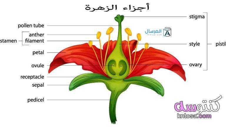 أجزاء الزهرة ووظائفها Parts Of A Flower Flower Structure Lily Flower