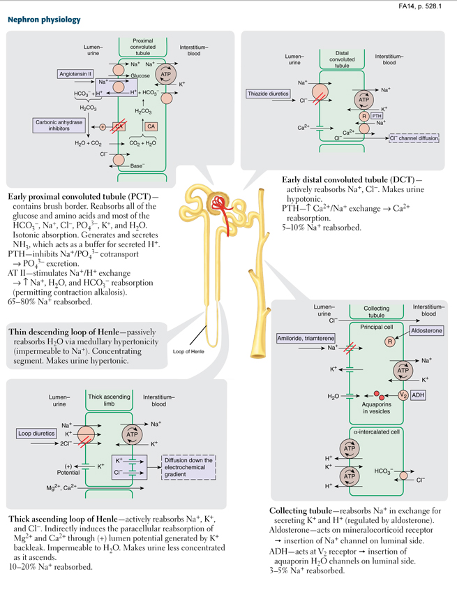 Renal - Nephron physiology | Med school study aid | Pinterest | Pa ...