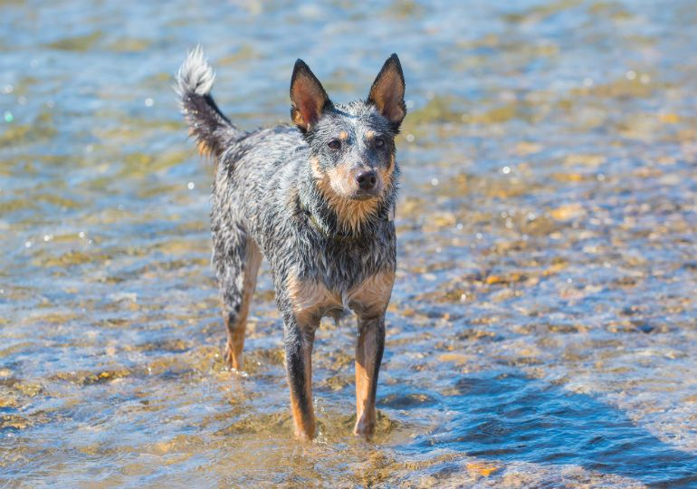 if you know the australian cattle dog you know what a treasure he is