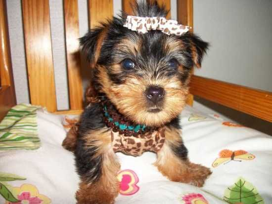 Male And Female Yorkie Puppies Are Now Ready For Adoption Salem Salem Dogs Puppies Yorkie Puppy Yorkie Puppies