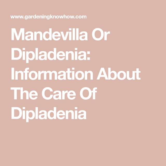Mandevilla Or Dipladenia: Information About The Care Of Dipladenia