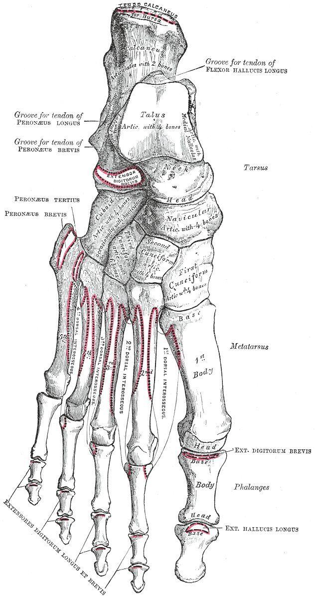 Human Anatomy Foot Anatomy Bones On Anatomy Bones Foot On