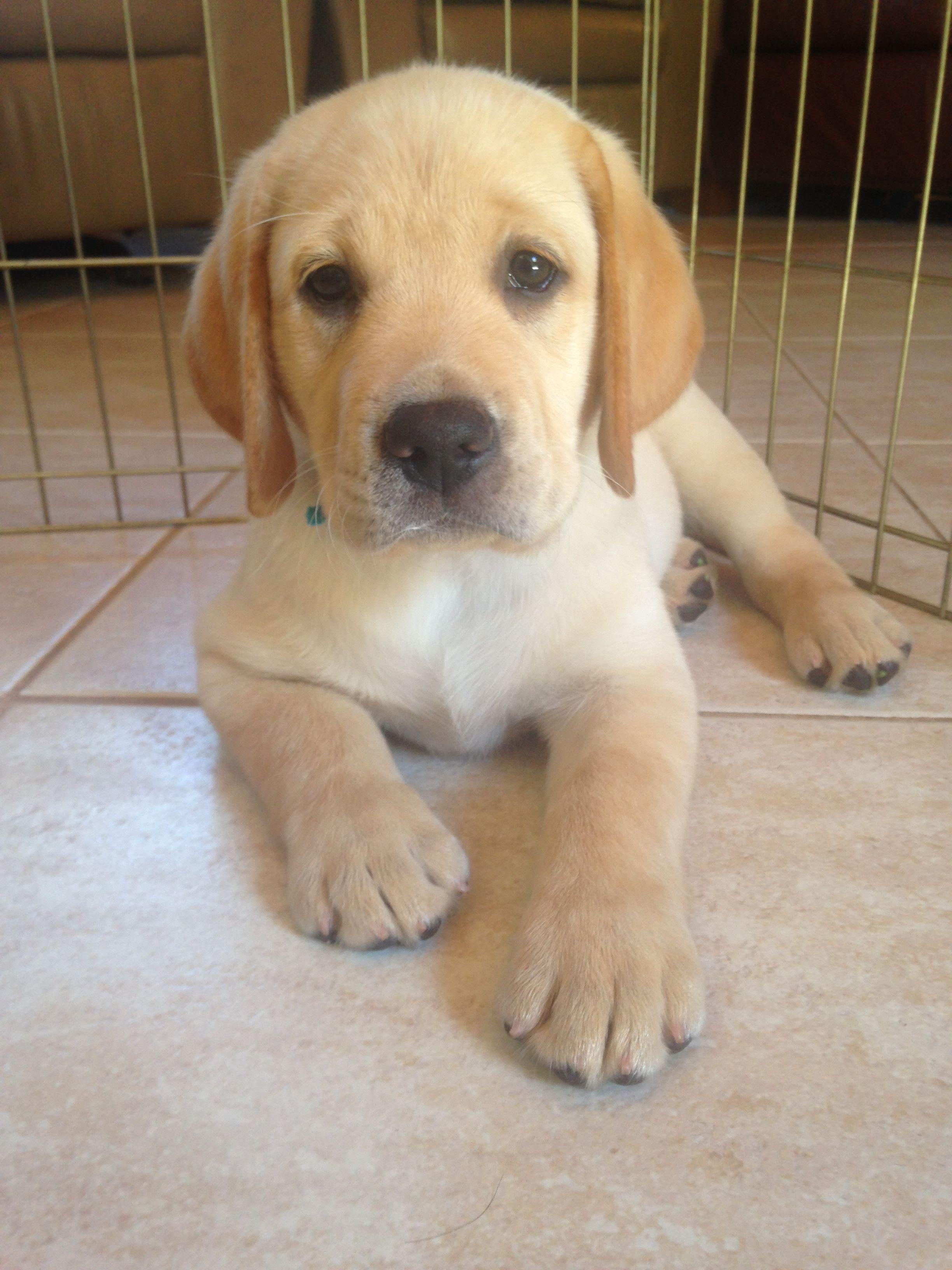 Yellow Lab Puppy Labrador Labrador Retriever Labrador Puppy